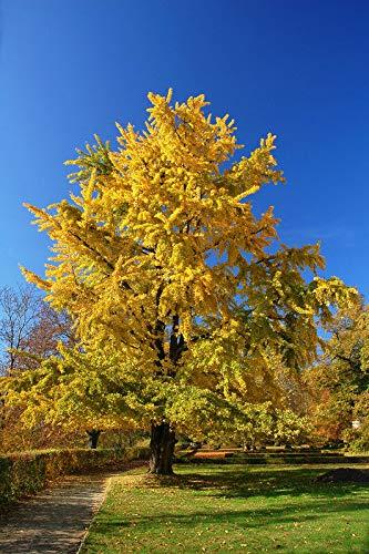 - Details About Quaking Aspen Tree, Populus tremuloides - Live Bare Root Plant