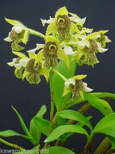Dendrobium macrophyllum Unique Species! Collectors Item! Nice!- Orchid Plant by Kawamoto Orchid Nursery