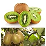 Greenlane Gardens Organic KIWI FRUIT Actinidia Vine 25+ Seeds Grow Delicious Healthy Fruit