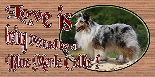 Love is Being Owned by a Blue Merle Collie