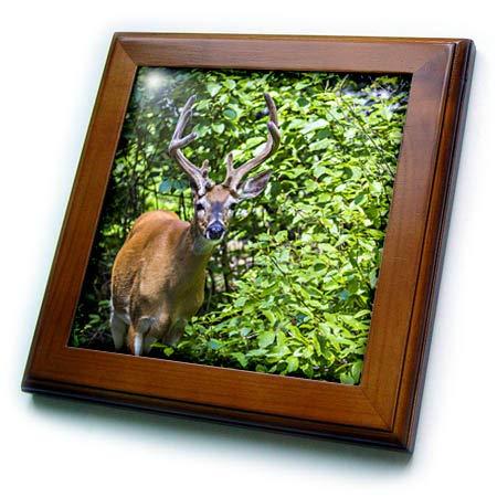 Framed Tile Deer - 3dRose Danita Delimont - Deer - Glacier National Park, Montana. White-Tailed Deer - 8x8 Framed Tile (ft_314929_1)