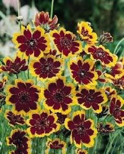 30 COSMIDIUM BRUNETTE Burridgeanum Greenthread Flower Seeds + Gift & Comb ()