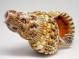 Triton Horn | 1 Triton Horn Sea Shell