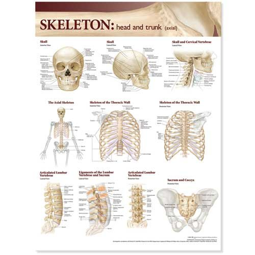 Lippincott Williams & Wilkins Atlas of Anatomy Skeletal System Chart: Head and Trunk