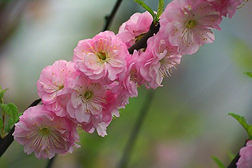 Double Pink Flowering Almond Shrub - Live Plants Shipped 2 to 3 Feet Tall by DAS Farms (No California)