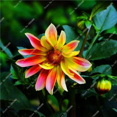 Double Dahlia Seed Mini Mary Flowers Seed Bonsai Potted Plant DIY Home Garden Fragrant Flower,Natural Growth 50 Pcs 4