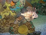 Lionfish Aqaurium Ocean Fish Design Nature Print Poster Room Decor