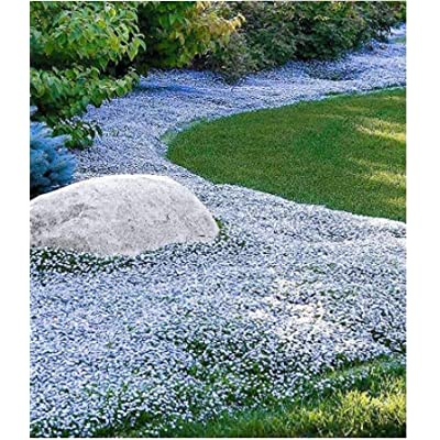 Humany flowerseeds- 100 Pieces Rock Cress Seeds Scented Creepers Ground Cover Flower Seeds Hardy Perennial Garden Plants Seeds : Garden & Outdoor