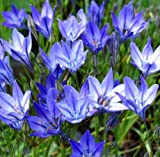 Brodiaea 'Queen Fabiola' 25 Bulbs | Perennial Plants Flowers Garden Ornamental