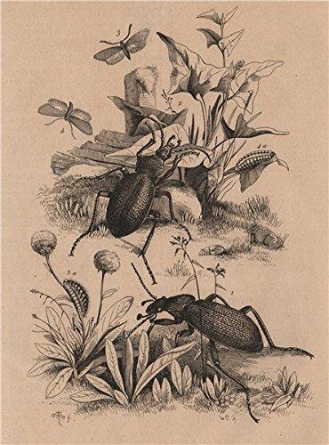 Kit Heath Art - INSECTS. Xyleborus procer (Bark beetle). Procris (Small Heath Butterfly) - 1834 - old print - antique print - vintage print - Classics art prints