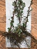 buy 4 Wild Raspberry Bush/shrub LIVE Bare root 10