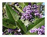 Hardenbergia comptoniana - Native Wisteria - 10 Seeds