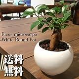 ガジュマル ハイドロカルチャー 観葉植物 インテリア 多幸の木 がじゅまる ガジュマルの木 北欧 おしゃれ ホワイトラウンドポット