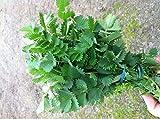 200 Seeds Salad Burnet Seeds (Sanguisorba Minor) Unique Leaf Shape for Salads, Garnishes.