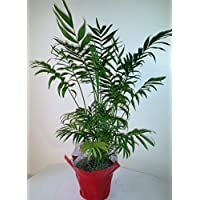 Tall Parlor palm By Emeritus Gardens with Decorative pot Cover and Plastic Panterra pot with Saucer and Emeritus Gardens Plant food