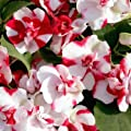 Outsidepride Impatiens Red Flash