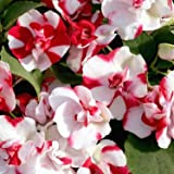 Outsidepride Impatiens Red Flash - 25 Seeds