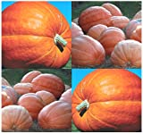 Best MySeeds.Co Pumpkin Seeds - 100 x DILL'S ATLANTIC GIANT Pumpkin seeds Review