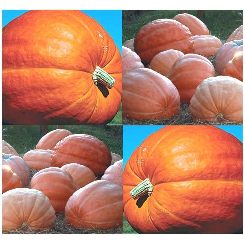 Discount DILL'S ATLANTIC GIANT Pumpkin seeds ~ RECORD BREAKING AT 1689 LBs - GREAT For Competitions - 120 Days (0010 Seeds - 10 Seeds - Pkt. Size) supplier