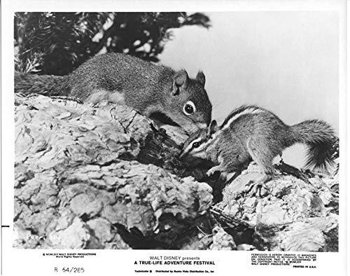 (Walt Disney True Life Adventure 1964 original 8x10 photo Perri two squirrel type)