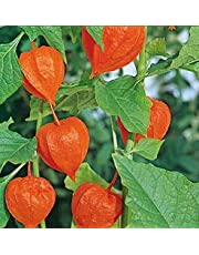 ScoutSeed Suttons Seeds Chinese Lantern Physalis Franchetii