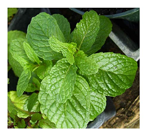 Fragrant Herb - 3 Kentucky Colonel Spearmint Herb Plants - Very Fragrant - Great for Mohitos -Mentha - 3.5