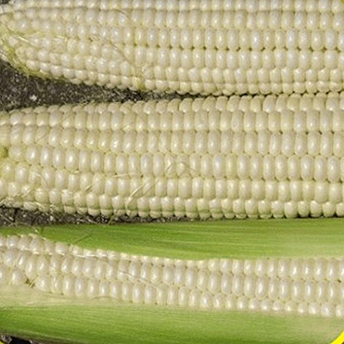 Everwilde Farms - 100 Silver Queen Hybrid Sweet Corn Seeds - Gold Vault Jumbo Seed Packet (Corn Seed Hybrid)