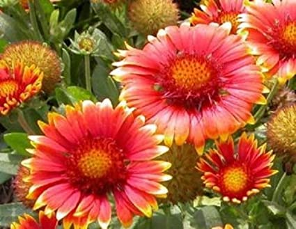Amazon blanket flower 200 seeds beautiful red flowers with blanket flower 200 seeds beautiful red flowers with yellow tips on the petals mightylinksfo