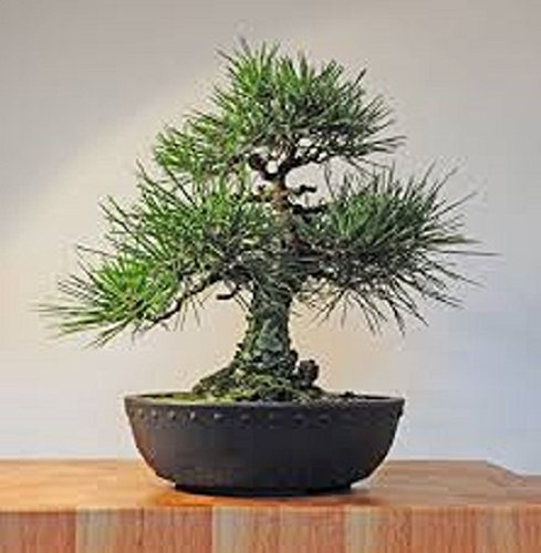 Giant Sequoia Bonsai 10 Seeds Buy Online In Guernsey At Guernsey Desertcart Com Productid 17830520
