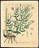Antique Print-EPILOBIUM HIRSUTUM-GREAT HAIRY WILLOWHERB-Sepp-Flora Batava-1800