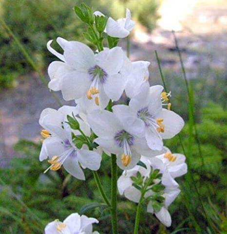 DEER RESISTANT,PERENNIAL POLEMONIUM WHITE JACOBS LADDER FLOWER SEEDS 50 SHADE