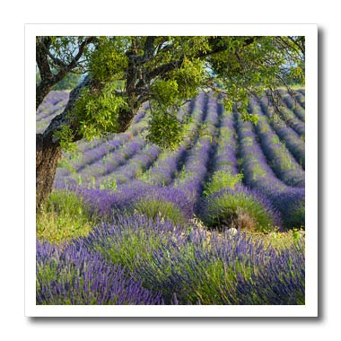 (3dRose Danita Delimont - Provence - Tree in Field of Lavender, Valensole Plateau, Provence, France - 6x6 Iron on Heat Transfer for White Material (ht_313106_2))