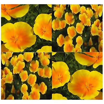 The Dirty Gardener California Yellow/Orange Poppy Flowers, 1, 000 Seeds : Tomato Plants : Garden & Outdoor