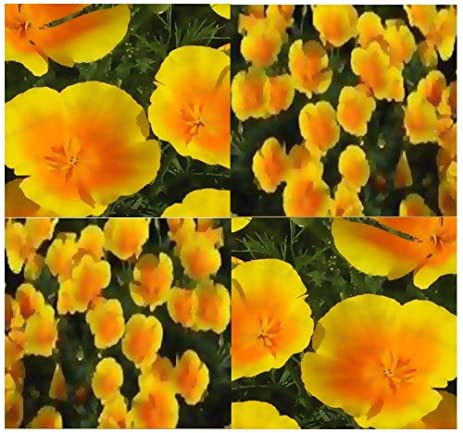 Amazon perennial variety california poppy flower seed seeds perennial variety california poppy flower seed seeds for drought tolerant of hot climates mightylinksfo