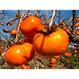 Japanese Persimmon, Diospyros kaki, Tree 5 Seeds (Edible Showy Fruits, Fall Color)
