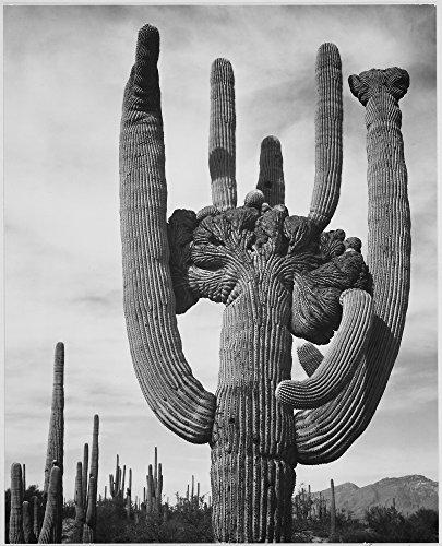 View of cactus and surrounding area Saguaros Saguaro National Monument Arizona (Vertical Orientation) 1933 - 1942 Poster Print by Ansel Adams (18 x 24)