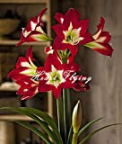 2 PCS Amaryllis bulbs True Hippeastrum bulbs flowers (Not seeds) Barbados Lily potted home garden Balcony plant Bulbous 24