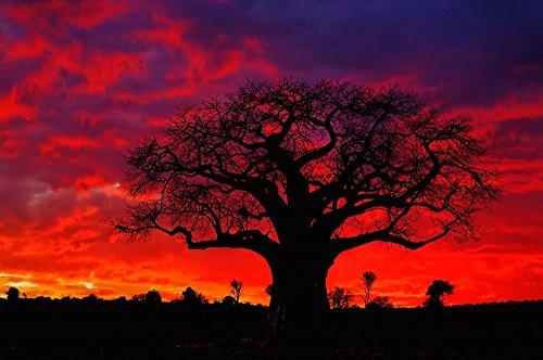 - African Baobab Tree, Tarangire National Park, Tanzania by Adam Jones/Danita Delimont Art Print, 37 x 25 inches