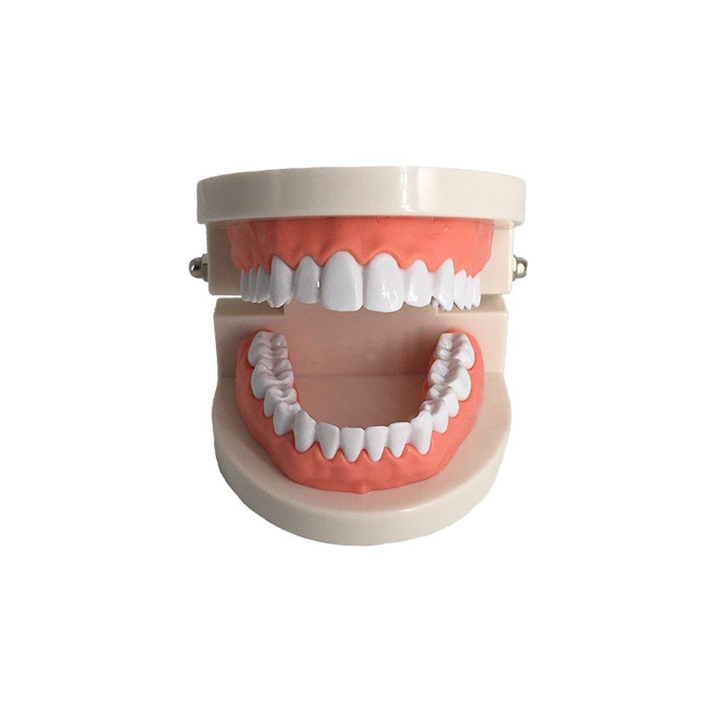 Standard Teeth Model, YOUYA DENTAL Kids Dental Teaching Study Supplies Adult Standard Typodont Demonstration Teeth Model