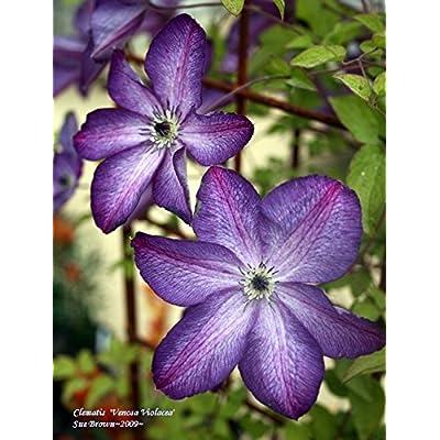 2 Roots Clematis Viticella Venosa Violacea, : Garden & Outdoor