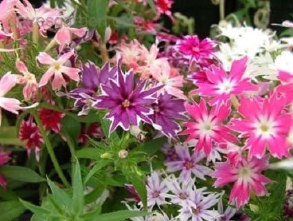 Amazon phlox twinkle star mix shade loving perennial flower phlox twinkle star mix shade loving perennial flower seeds mightylinksfo
