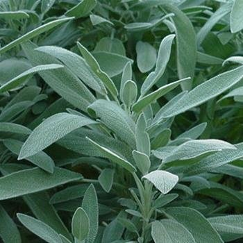 Sage Seeds- Broad Leaf- Heirloom Herb- 50+ Seeds