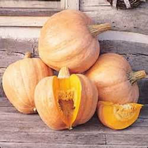 Amish Pumpkin Pie - 20 Seeds Amish pie Pumpkin Seeds