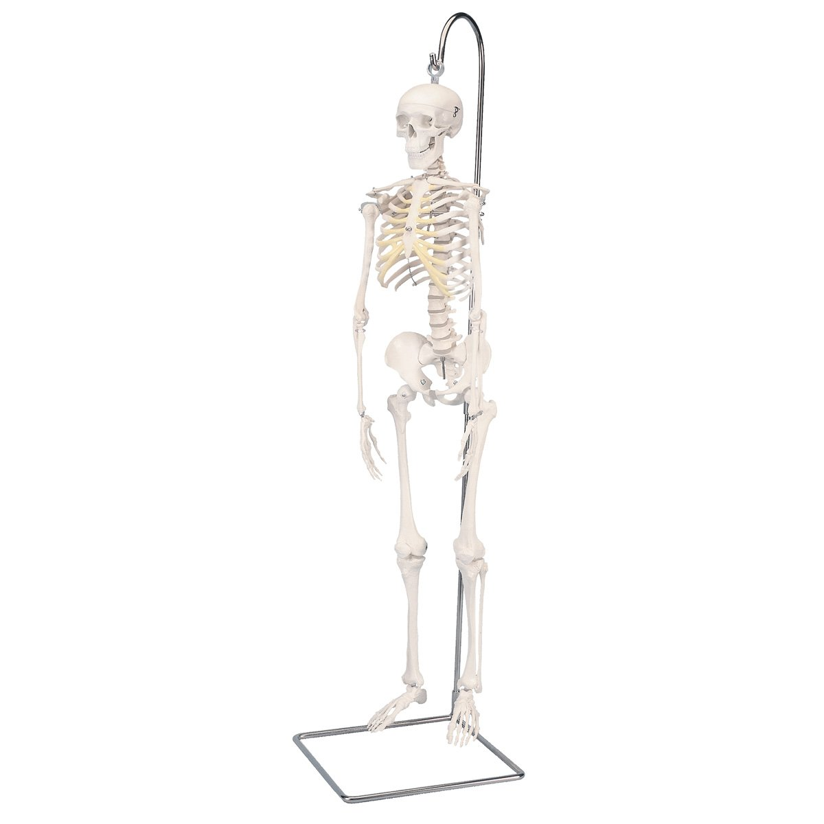 3B Scientific A18 1 Plastic Mini Human Skeleton Shorty Anatomically Detailed on Hanging Stand 37 Height