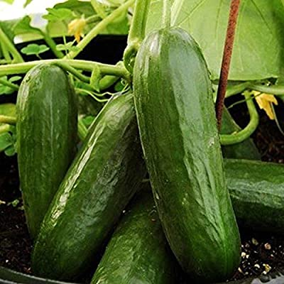 Picolino F1 Hybrid Cucumber Seeds -skin is tender and sweet crisp (10 - Seeds) : Garden & Outdoor