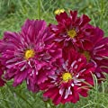 """(ACOS)~""""DOUBLE CLICK CRANBERRIES"""" COSMOS~Seeds!!~~~~Rich Beauty!"""