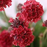 30 Red Armeria Flower Seeds