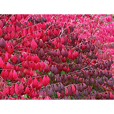 Verazui Burning Bush, Euonymus alatus, 20 Seeds (Fall Color, Hardy, Hedge) : Garden & Outdoor