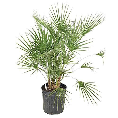 PlantVine Chamaerops humilis, European Fan Palm, Mediterranean Fan Palm - Large - 8-10 Inch Pot (3 Gallon), Live - Fan Mediterranean Palm