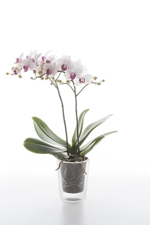 Bulbi In Vaso Di Vetro.Set Vaso Componibile In Vetro Trasparente Hydra Per Orchidee E Bulbi Di Primavera Con Sistema Di Filtraggio Ideale Per Bulbi Fiori E Piante